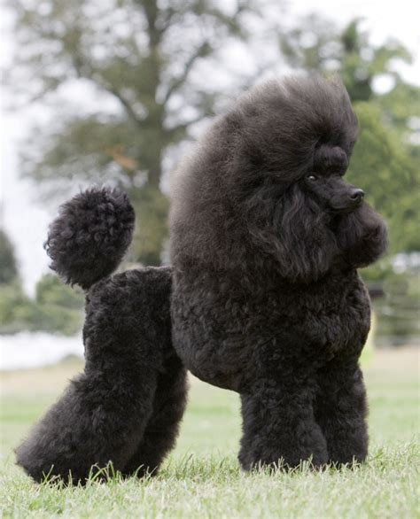 multi poodle lifespan silver poodle breeders uk dogs in our photo