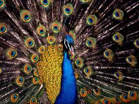 big colorful bird wallpapers peacock wallpapers