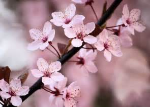 cherry blossom images cherry blossom images beautiful cherry blossom hd