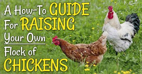 how to raise your own backyard chicken