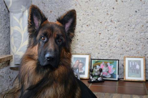 german shepherd x pomeranian 17 images about herderkes en keesjes on pomeranian pups puppys and