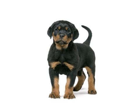 royal canin rottweiler rottweiler puppyvoer rasspecifieke voeding voor pups royal canin