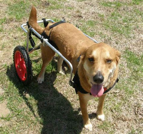 wheels for dogs dogs on wheels wheelchairs