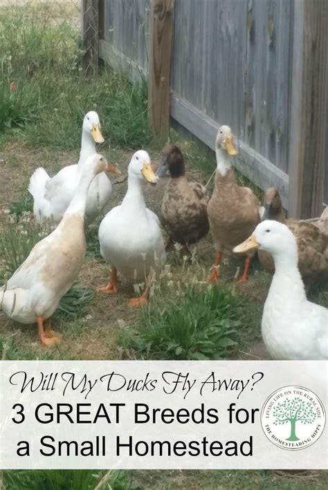 backyard duck breeds 1000 ideas about backyard ducks on pinterest keeping