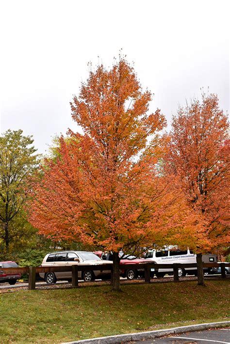 karpick maple tree karpick maple acer rubrum karpick in burlington waterdown dundas ontario ontario on at
