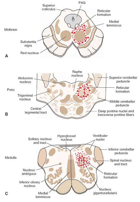 brain stem cross section midbrain cross section www pixshark com images