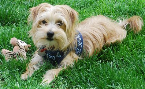 yorkie chihuahua dachshund mix dachshund yorkie mix pictures breeds picture
