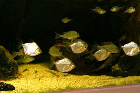 alimentazione piranha piranha fra assassini e mangiatori di piante lacooltura
