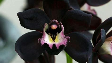 black orchid very rare black orchid flowers n pinterest