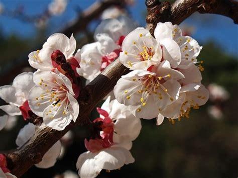 fiori albicocco albicocco il giardino degli angeli