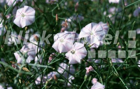 Blumen Pflanzen 3070 by Blickwinkel Strauchwinde Strauch Winde Convolvulus