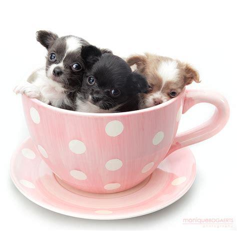 yorkie puppies corpus christi pin tea cup yorkie puppies for free adoption corpus christi tx on