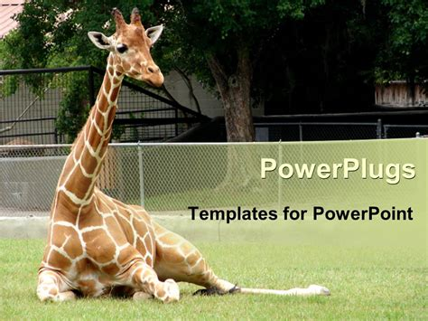powerpoint templates zoo free powerpoint template giraffe relaxing in front of tree at