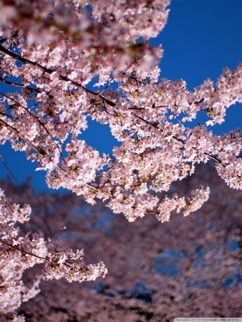 tulips flowers bokeh wallpaper 5120x3200 23648 cherry blossom trees 4k hd desktop wallpaper for 4k ultra