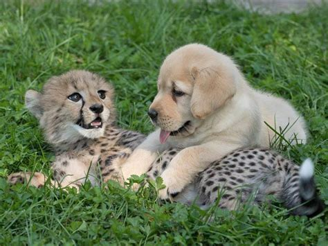 cheetah and this baby cheetah and puppy are being raised as bffs and