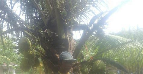 Jual Bibit Kelapa Kopyor Hibrida jual bibit kelapa kopyor dan buah kopyor