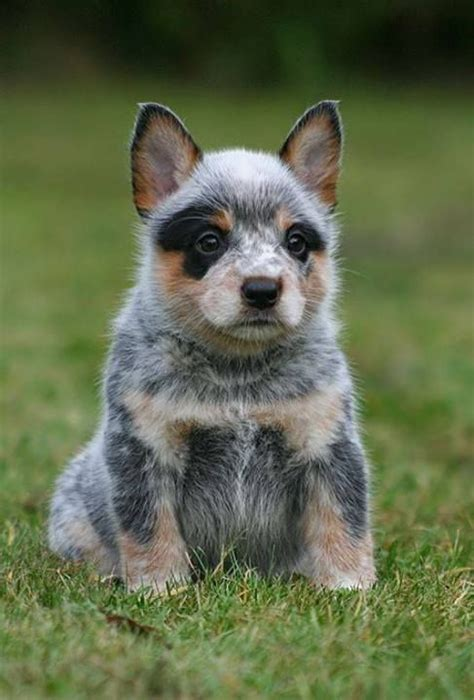 blue heelers s01e01 a womans place australian cattle dogs puppies and dogs