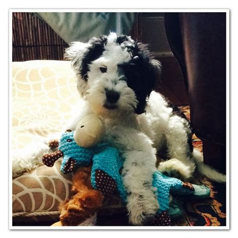 doodle puppy mill 17 best images about springer on spaniels
