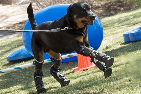 how much walking does a rottweiler need this rottweiler is so happy walking with his new prosthetic limbs
