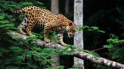 imagenes de jaguar animal jaguar