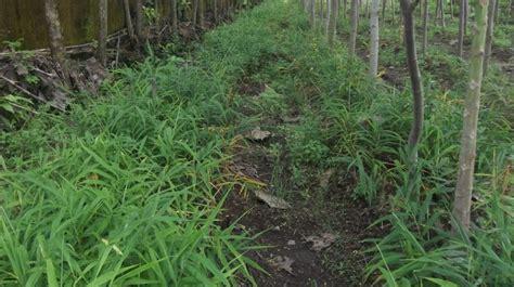 Bibit Jahe Merah Jawa Tengah kebun jahe nusantara superglio mengatasi penyakit busuk