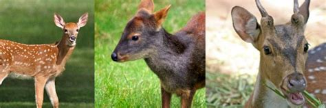 deer breeds deer species deer facts and information