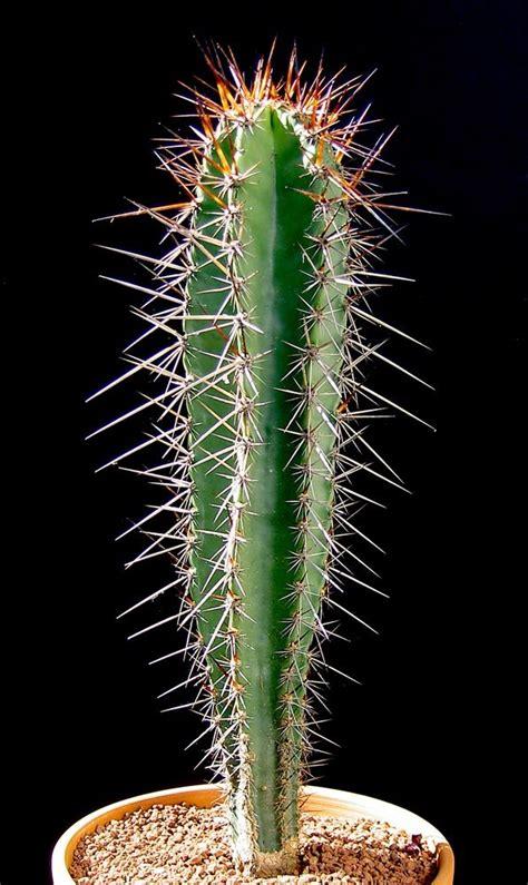 armatocereus cartwrightianus cactus jungle