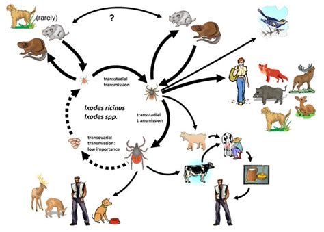 encephalitis in dogs schematic drawing of the transmission cycle of tick borne encephalitis