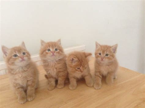 cats for sale four kittens for sale waterlooville hshire