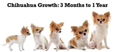 hair chihuahua hair growth what to expect chihuahua puppy growth chart