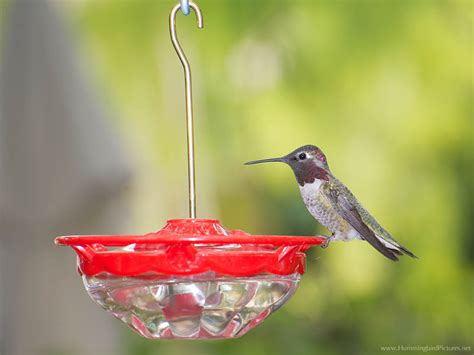 how to use hummingbird feeder hummingbird feeders