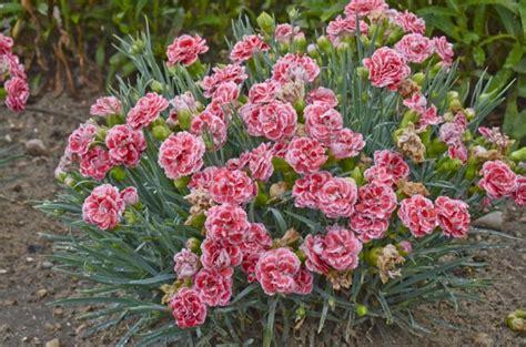 welche pflanzen im garten nelken im garten pflanzen 8 arten f 252 r ein blumen paradies