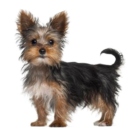 everything yorkie everything about your terrier my dogs