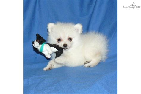 tiny teacup pomeranian puppies for sale in ohio pomeranian puppy for sale near springfield missouri c53ec5da d571