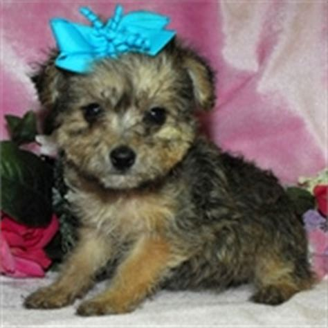 how to become a yorkie breeder yorkie poo puppies images awwwww photo 24813698