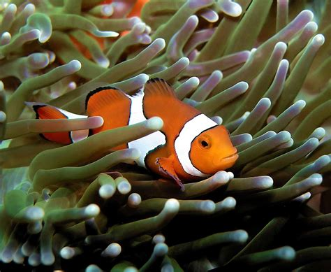 clown anemonefish madang ples bilong mi part 2