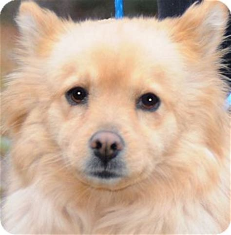 spitz and pomeranian mix our true quot quot adopted wakefield ri pomeranian spitz unknown