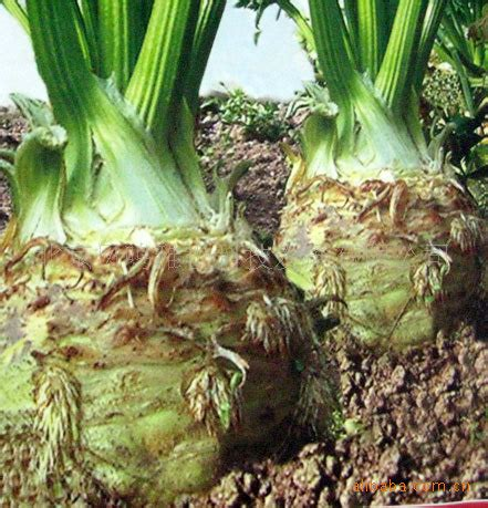 is celery a root vegetable celery plants reviews shopping celery plants