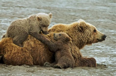 grizzly bear cubs playing our ultimate canadian bucket list flying the nest