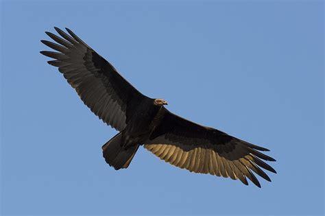 imagenes chistosas de zopilotes foto gratis zopilote cabecirrojo ave imagen gratis en