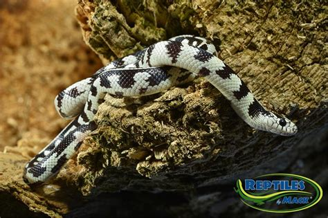 king snake care sheet reptiles  mack