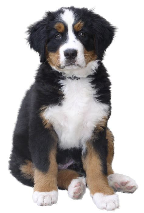 dogs dogs png image dogs puppy pictures free