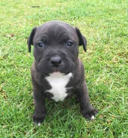 staffie puppies the 25 best staffy puppies for sale ideas on staffy pups for sale