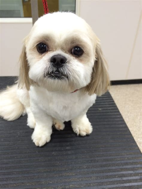 teddy shih tzu cut teddy cut shih tzu