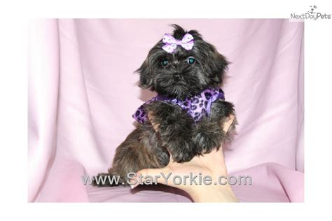 yorkie poo puppies for sale in los angeles ca yorkiepoo yorkie poo puppy for sale near los angeles california 0e994459 3eb1