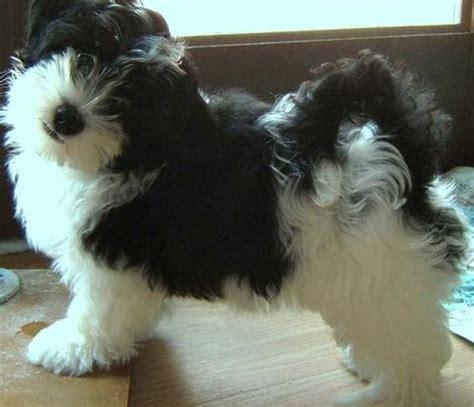havanese puppies tennessee showdays forum