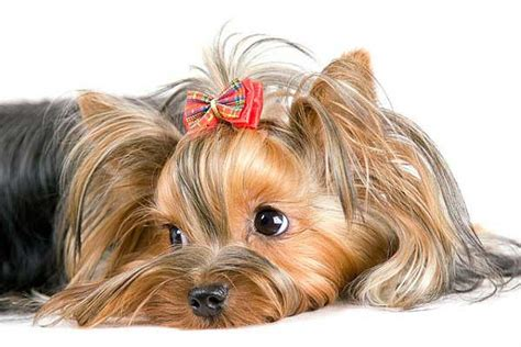 what do yorkies like to do yorkie seizures symptoms causes and treatment