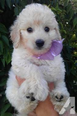 mini goldendoodles west virginia miniature goldendoodle puppies ohio www proteckmachinery