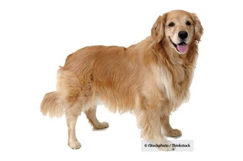 average cost of golden retriever puppy the golden retriever lifetime study is now open