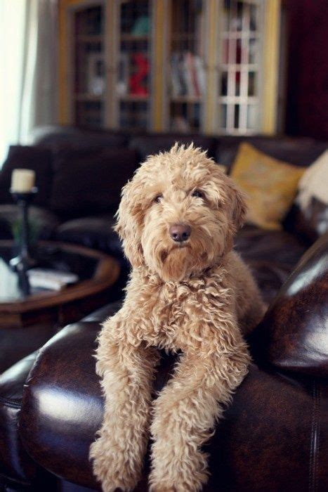 mini goldendoodles washington dc 63 best images about if i had a on f1b